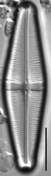 Staurophora brantii LM6