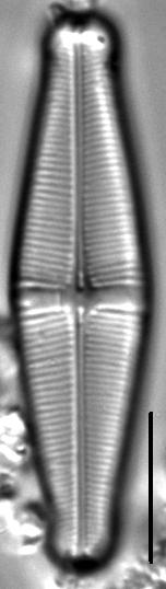 Staurophora brantii LM2
