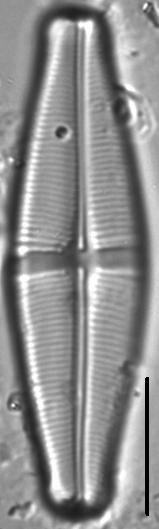 Staurophora brantii LM1