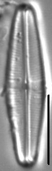 Staurophora tackei LM1