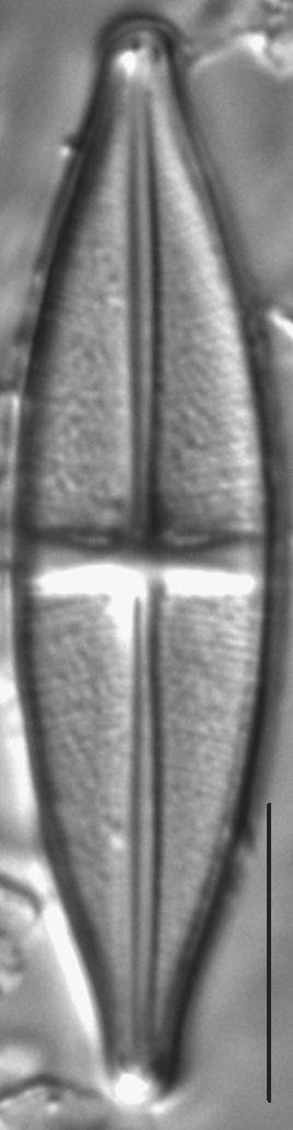 Stauroneis boyntoniae LM2