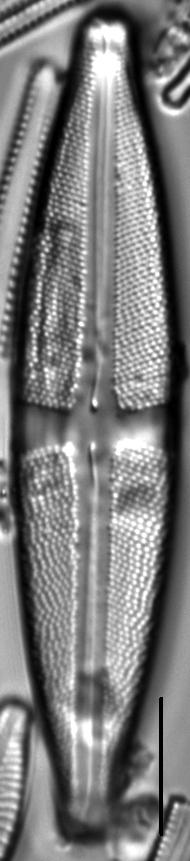 Stauroneis sacajaweae LM5