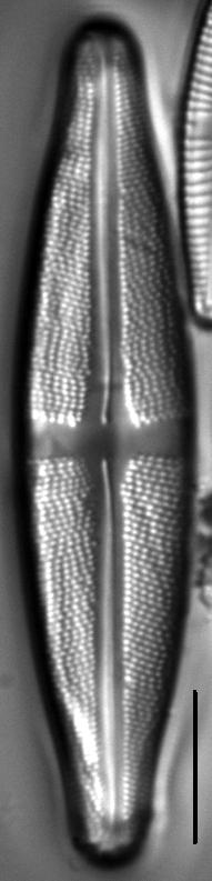 Stauroneis sacajaweae LM2