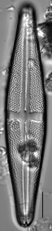 Stauroneis thompsonii LM2