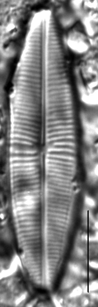 Staurophora columbiana LM6