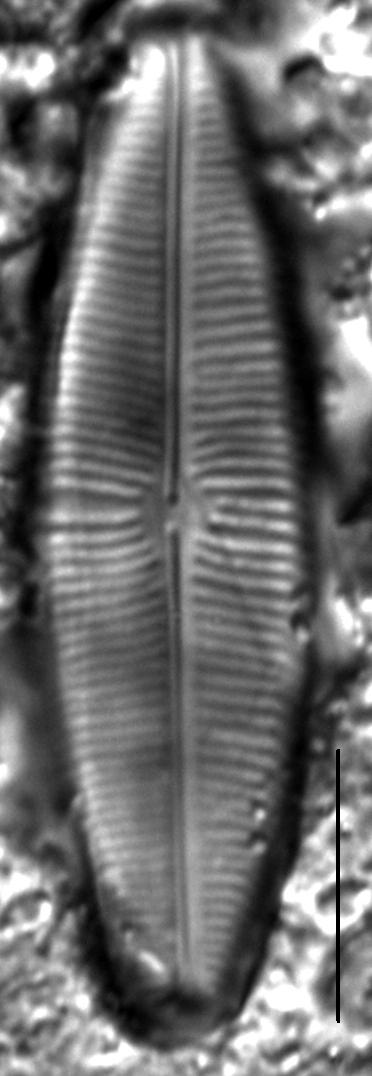 Staurophora columbiana LM4