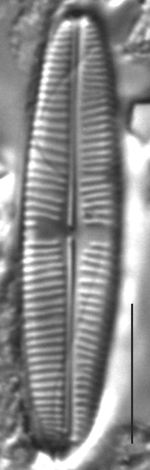 Staurophora soodensis LM2