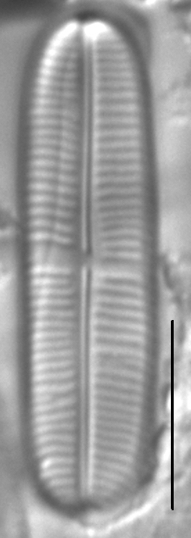Staurophora soodensis LM4