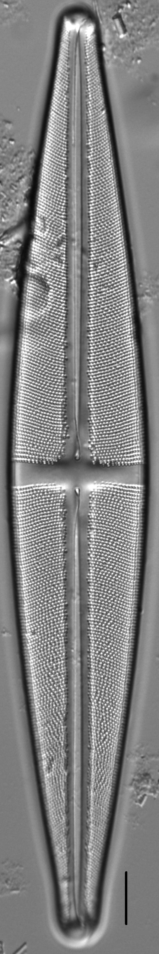 Stauroneis supergracilis LM13