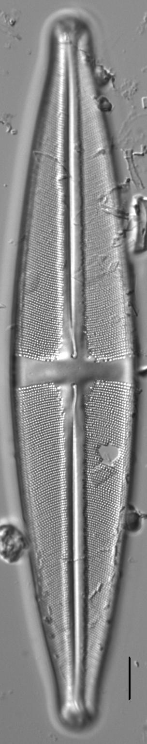 Stauroneis supergracilis LM2