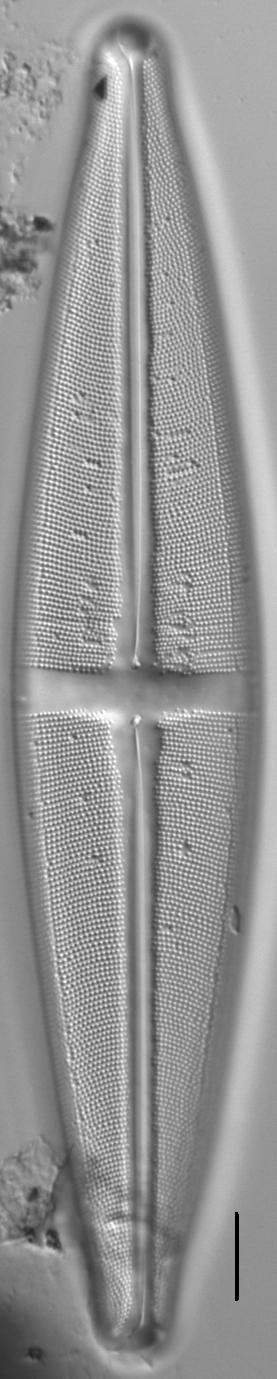 Stauroneis supergracilis LM6