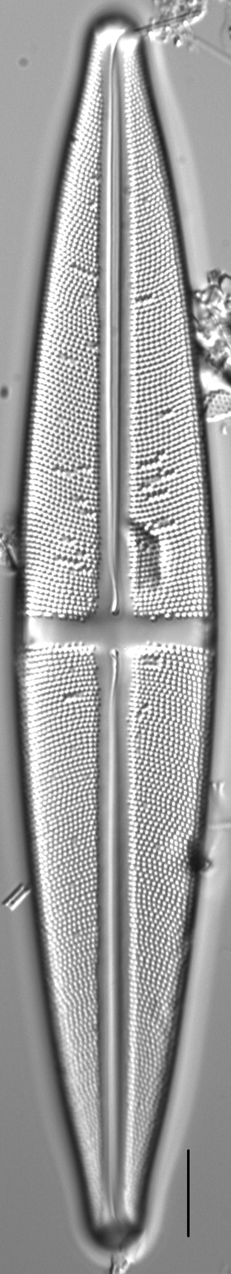 Stauroneis supergracilis LM1
