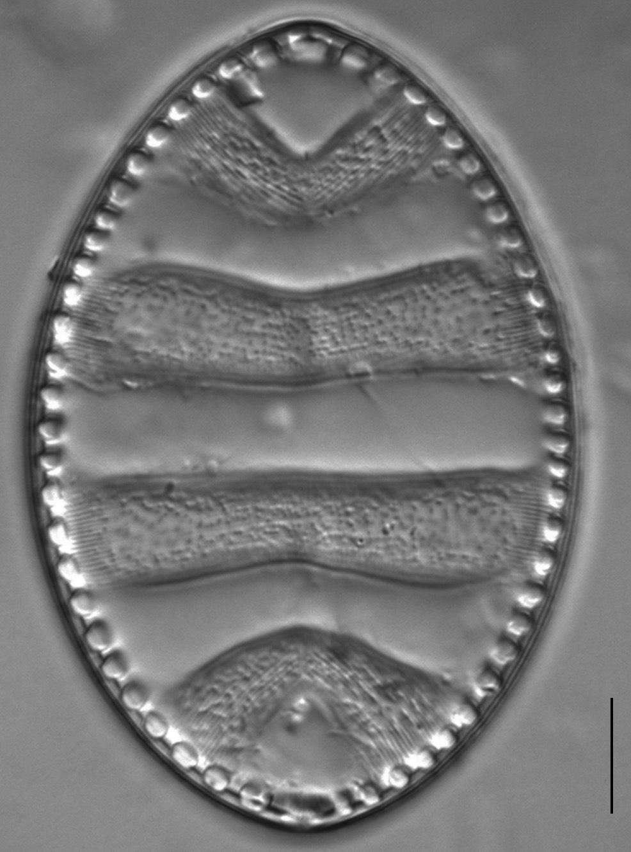 Surirella undulata LM7