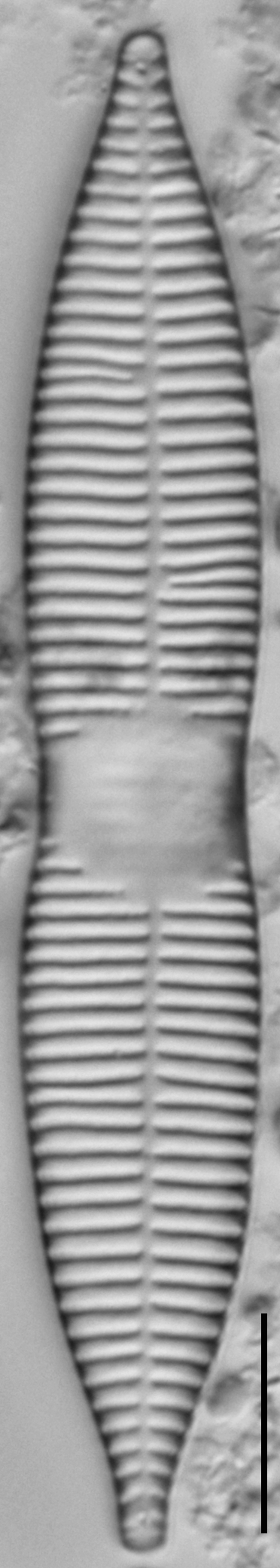 Synedra goulardi LM6