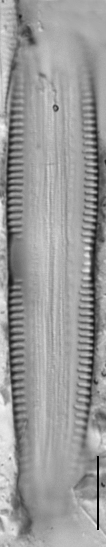 Synedra goulardi LM5
