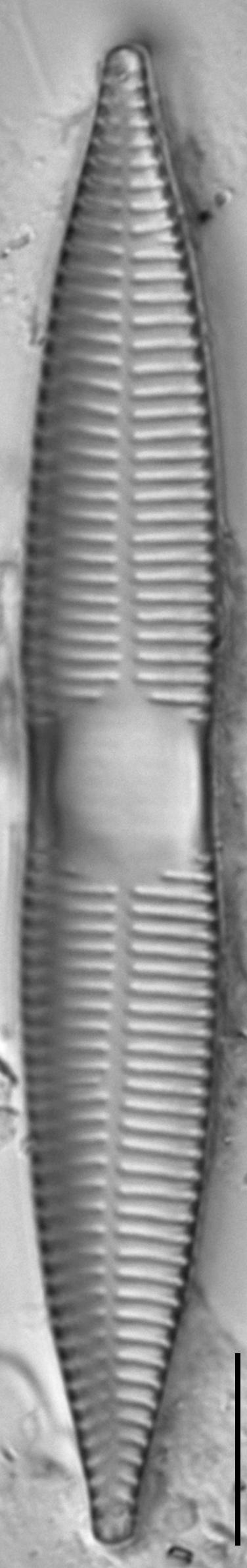 Synedra goulardi LM2