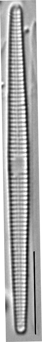 Synedra famelica LM7