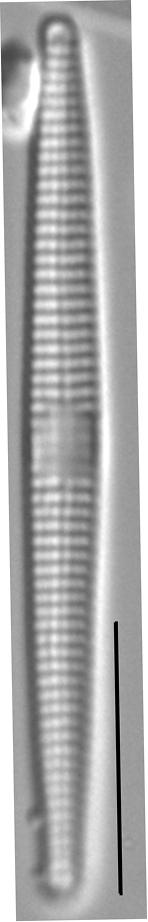 Synedra famelica LM6