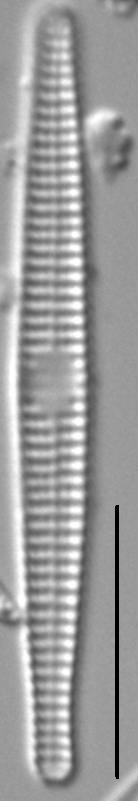Synedra famelica LM4