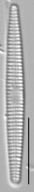 Synedra famelica LM3