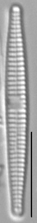 Synedra famelica LM2
