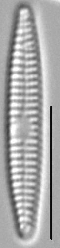 Synedra famelica LM1