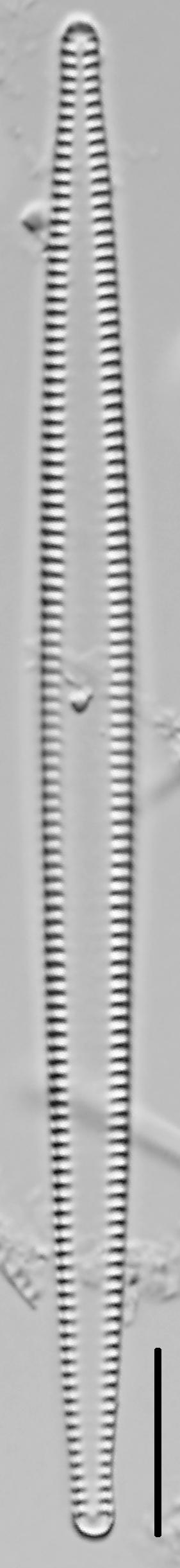 Tabularia fasciculata LM3