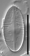 Psammothidium nivale LM7