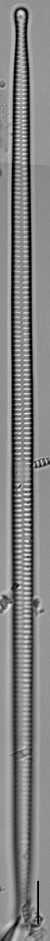 Ulnaria delicatissima LM16