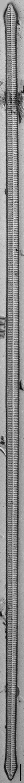 Ulnaria Capitata LM1