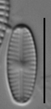 Sellaphora saugerresii LM4