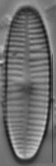 Achnanthidium deflexum LM5