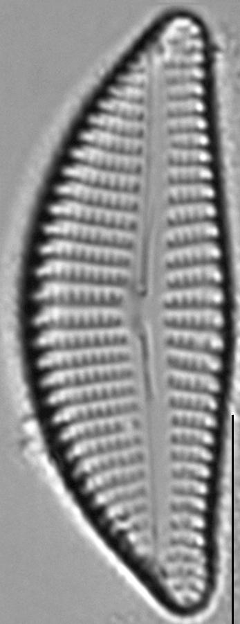 Encyonema auerswaldii LM3