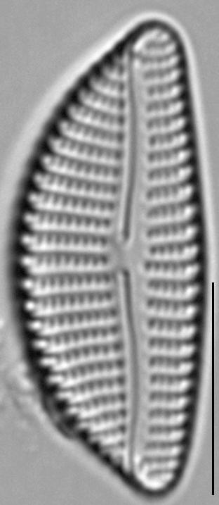 Encyonema auerswaldii LM4