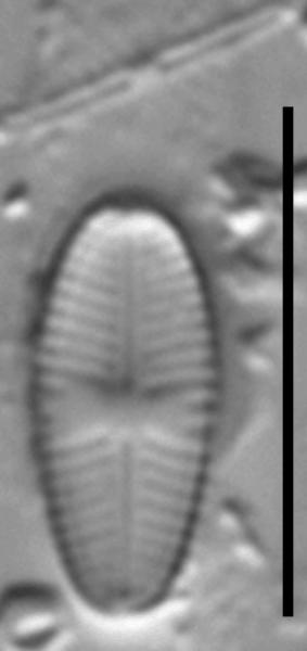 Sellaphora nigri LM1