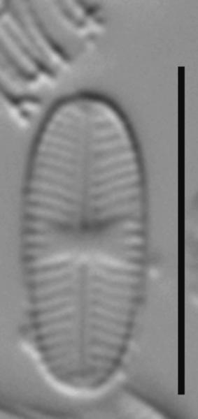 Sellaphora nigri LM3