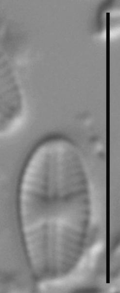 Sellaphora atomoides LM2