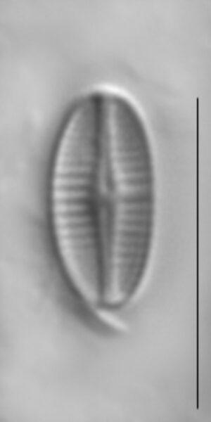 Achnanthidium rivulare LM1