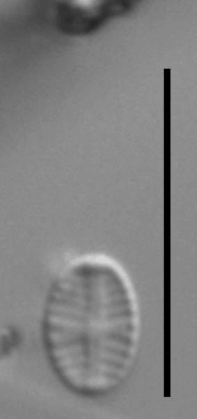 Sellaphora nigri LM5