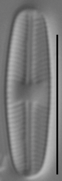 Sellaphora atomoides LM3