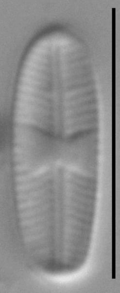 Sellaphora atomoides LM5
