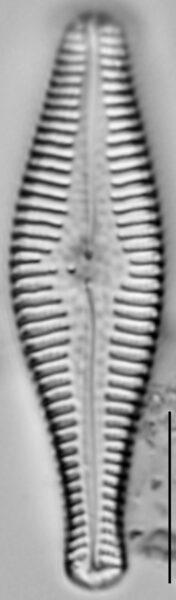Gomphonema manubrium LM3