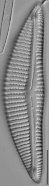 Encyonema minutum var pseudogracilis LM2