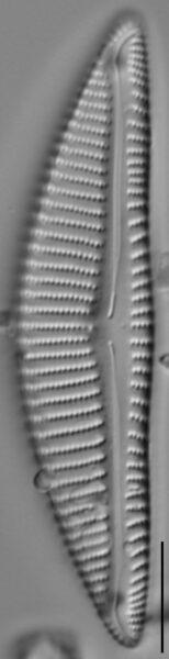 Encyonema minutum var pseudogracilis LM3
