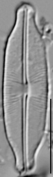 Sellaphora stauroneioides LM1