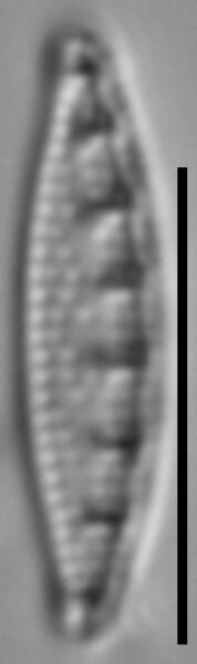 Grunowia solgensis LM2