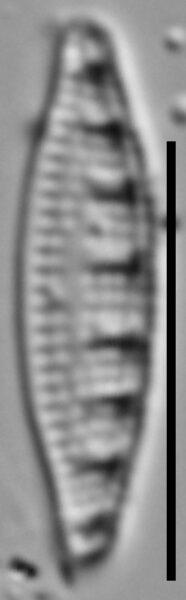 Grunowia solgensis LM6