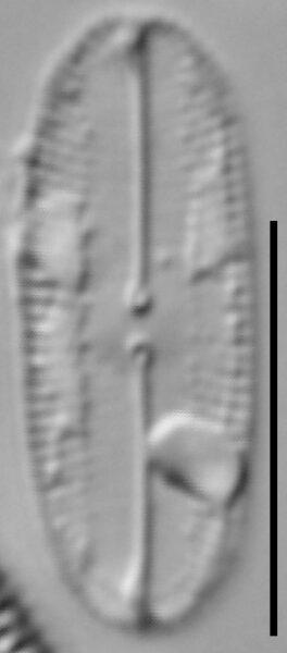 Fallacia subhamulata LM1