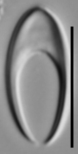 Tetracyclus rupestris LM3