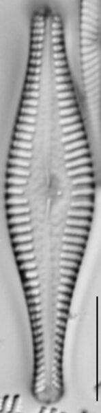 Gomphonema manubrium LM5
